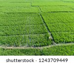 rice fields from above  | Shutterstock . vector #1243709449