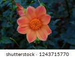 miscellaneous dahlia. peony... | Shutterstock . vector #1243715770