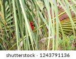 Northern Cardinal  Cardinalis...