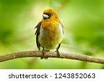 prong billed barbet  semnornis...   Shutterstock . vector #1243852063