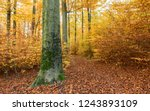 beech forest in autumn | Shutterstock . vector #1243893109