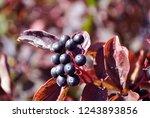 frangula alnus  alder buckthorn ... | Shutterstock . vector #1243893856