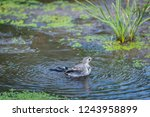 white wagtail or motacilla alba ... | Shutterstock . vector #1243958899