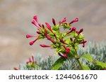 marvel of peru or mirabilis... | Shutterstock . vector #1244061670