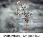 frosty branch of rose with red... | Shutterstock . vector #1244084560