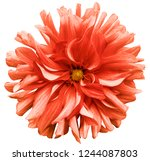 red flower dahlia  on a white ... | Shutterstock . vector #1244087803