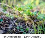 fresh new plant of wood... | Shutterstock . vector #1244090050