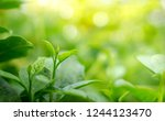 green leaves on a green...   Shutterstock . vector #1244123470