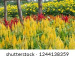 beautiful yellow and red... | Shutterstock . vector #1244138359