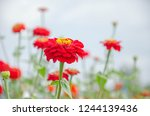 beautiful red zinnia flowers... | Shutterstock . vector #1244139436