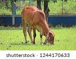 the brown cow is standing in... | Shutterstock . vector #1244170633