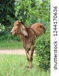 the brown cow is standing in... | Shutterstock . vector #1244170636