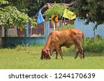 the brown cow is standing in... | Shutterstock . vector #1244170639