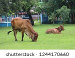 the brown cow is standing in... | Shutterstock . vector #1244170660