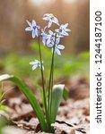 blue snowdrops  first spring...   Shutterstock . vector #1244187100