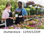 skilled florists checking and... | Shutterstock . vector #1244212339