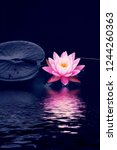 lotus flower and lotus flower...   Shutterstock . vector #1244260363