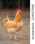Orange Chicken Rooster That...