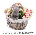 Stock photo gray kitten on photo studio kitty put his paws on the edge of the basket and looking up gray 1244310670