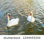 two swans swimming in water on... | Shutterstock . vector #1244455243