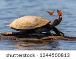 amazon side necked turtle ... | Shutterstock . vector #1244500813
