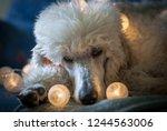 Standard Poodle Christmas Lights