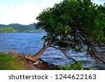 The Manchineel Tree  Hippomane...