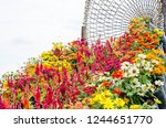 celosia and zinnia flowers with ... | Shutterstock . vector #1244651770