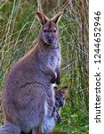 female wallaby and joey in her... | Shutterstock . vector #1244652946