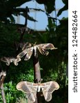 Small photo of ailanthus moth