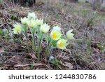 a bunch of snowdrop flowers in...   Shutterstock . vector #1244830786