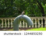 songbird pooping on the pvc... | Shutterstock . vector #1244853250