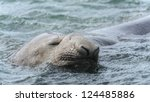 Elephant Seal Sleeps Swimming....
