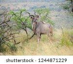 wild kudu  same specie with... | Shutterstock . vector #1244871229