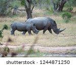 White Rhino Walking Side By...