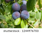 Close up of the plums ripe on...