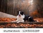 Dog Breed Border Collie In The...