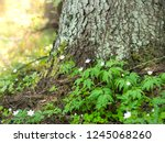 white flowers of forest anemone ... | Shutterstock . vector #1245068260