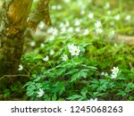 white flowers of forest anemone ... | Shutterstock . vector #1245068263