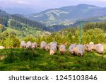 livestock is pasturing on field.... | Shutterstock . vector #1245103846