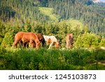 livestock is pasturing on field.... | Shutterstock . vector #1245103873