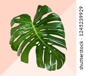 monstera leaf low poly.... | Shutterstock .eps vector #1245239929