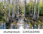 Swamp with pond cypress trees along Loop Road in Big Cypress National Preserve, Everglades, Florida, USA