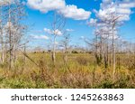 Swamp with grass and dead trees along Loop Road in Big Cypress National Preserve, Everglades, Florida, USA
