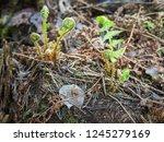 fresh new spirals of ferns... | Shutterstock . vector #1245279169