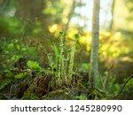 fresh new spirals of ferns... | Shutterstock . vector #1245280990