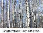 several birches with white...   Shutterstock . vector #1245351256