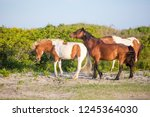 a group of wild ponies  equus... | Shutterstock . vector #1245364030