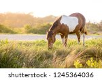 a wild pony  equus caballus ... | Shutterstock . vector #1245364036