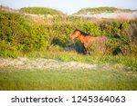 a wild pony  equus caballus  at ... | Shutterstock . vector #1245364063